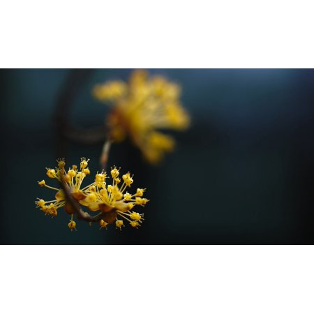 Framed art for your wall yellow flowers cornus byeokchoji early framed art for your wall yellow flowers cornus byeokchoji early spring 10x13 frame mightylinksfo