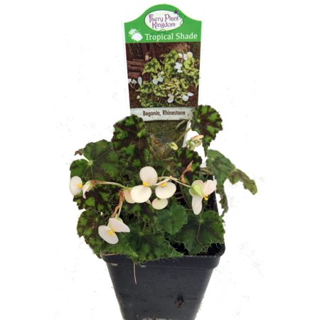 Begonia Leaf (Mini Maple Leaf Begonia Plant - 2.5
