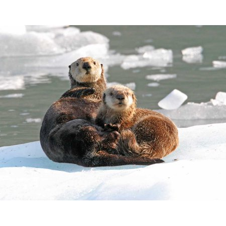 Sea Otter female with pup on ice floe Prince William Sound Alaska Poster Print by Michael (Sea Otter Tail)