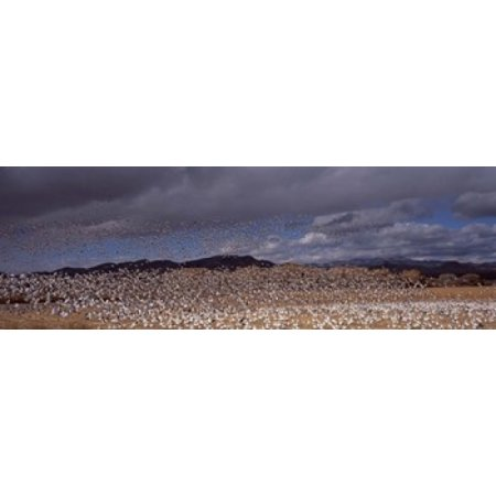 Flock Of Snow Geese Flying Bosque Del Apache National Wildlife Reserve Socorro County New Mexico Usa Poster Print