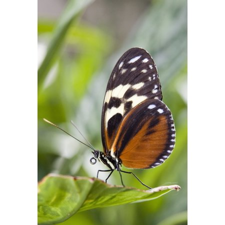 Tiger Longwing Butterfly (Heliconius Hecale) Resting On Leaf Niagara Butterfly Conservatory Niagara Falls Ontario Canada Canvas Art - Henry Georgi Photography Inc  Design Pics (22 x 34)