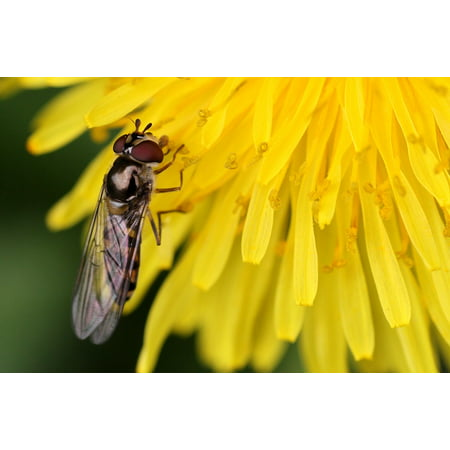 LAMINATED POSTER Nature Flowers Insect Hoverfly Fly Poster Print 24 x 36