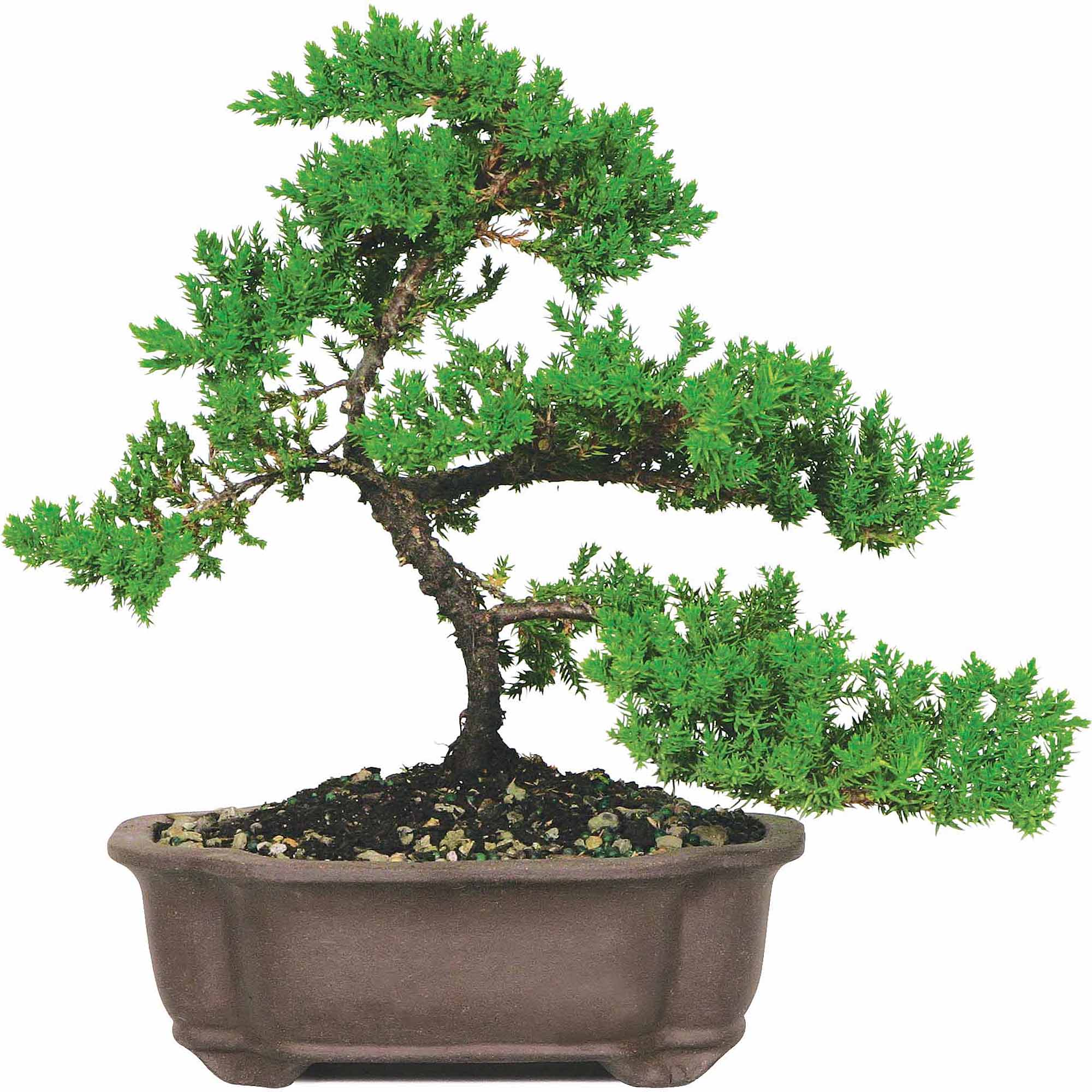 Brussel S Green Mound Juniper Bonsai Medium Outdoor Not Sold In California Walmart Com Walmart Com