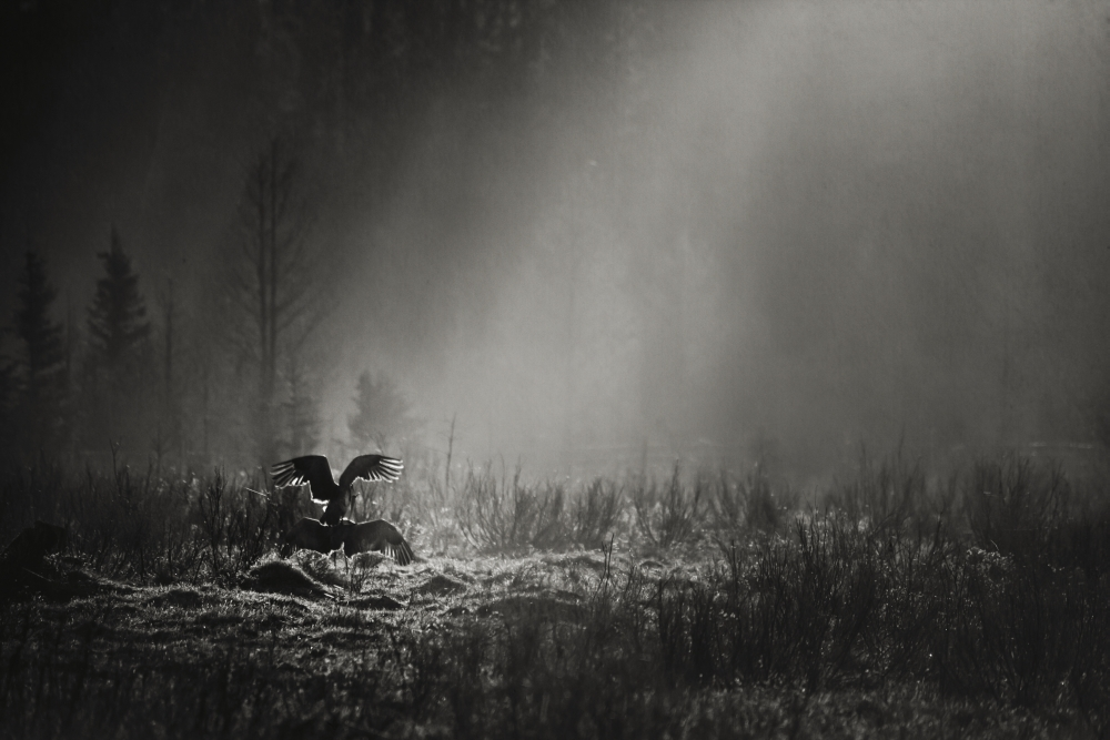 Black and white photo of pair of sandhill cranes (grus canadensis) perform their mating ritualRocky mountain house alberta canada... by Design Pics
