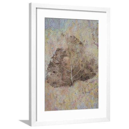 Skeleton of Leaf of Black Poplar Or Populus Nigra Tree Framed Print Wall Art By Den - System 100 Black Frame
