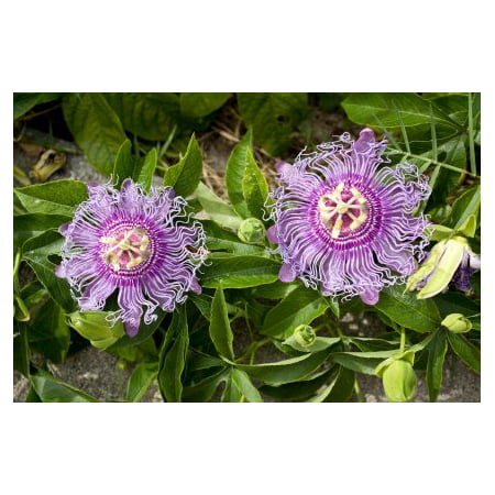 MAYPOP PURPLE PASSION FLOWER PLANT (PASSIFLORA - Solid Passion Flower