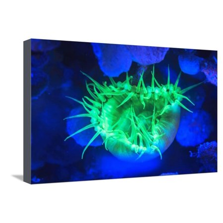 Night dive at Barrier Reef, Saint Georges Caye, Fluorescence, Belize, Central America Stretched Canvas Print Wall Art By Stuart Westmorland