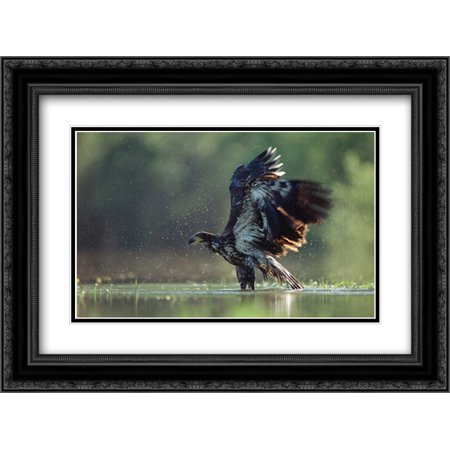 Juvenile American Bald Eagle (Bald Eagle juvenile bathing in a river, North America 2x Matted 24x18 Black Ornate Framed Art Print by Fitzharris,)