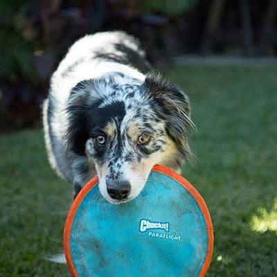 Chuckit Paraflight Flyer Dog Toy Large New Version