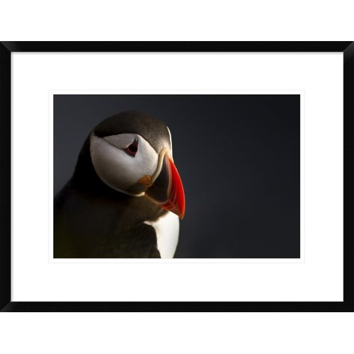 Global Gallery 'Puffin Portrait' by Ennedi Framed Photographic Print