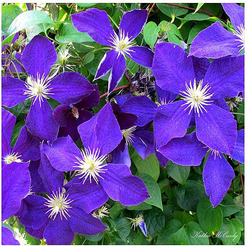 "Trademark Art ""Clematis"" Canvas Art by Kathie McCurdy, 35x35"