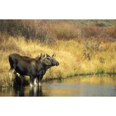 Moose Twin Calves Standing On Stream Bank In Fall Grand Teton National Park Wyoming Posterprint