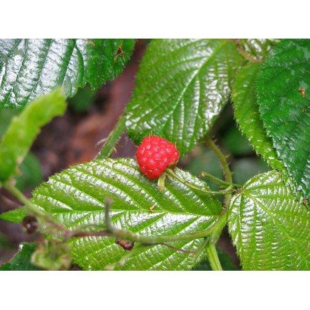 LAMINATED POSTER Red Raspberry Berries Fruit Bush Poster Print 24 x 36