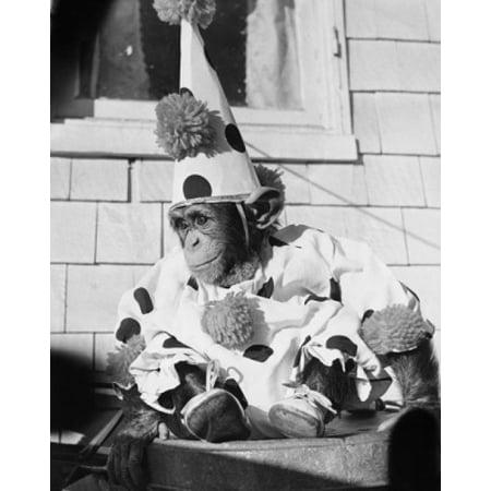 Close-up of a chimpanzee wearing a clown costume Poster Print (Chimpanzee Costume)