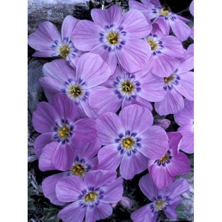 Siberian Phlox on Alpine Ridge, Brooks Range, Alaska National Wildlife Refuge, Alaska, USA Print Wall Art By Hugh