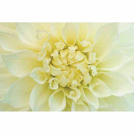 Bloomsz Dahlia Fleurel, World's Largest, Flower Bulbs, 3 pk