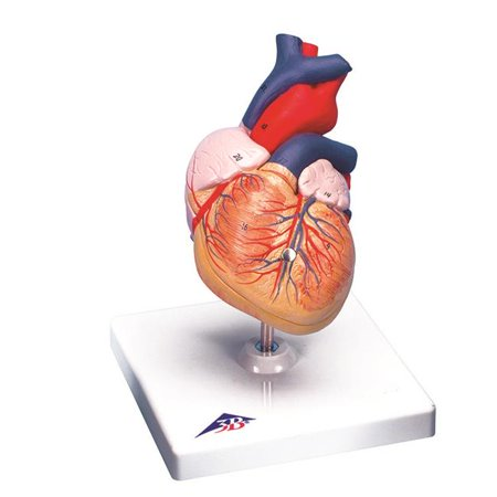 Anatomical Model - 2 Part Heart (Best Anatomical Heart Model)
