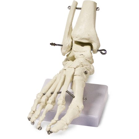 Walter Products Foot Skeleton Model