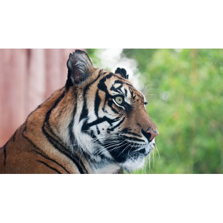 - LAMINATED POSTER Tiger London Travel London Zoo Poster Print 24 x 36