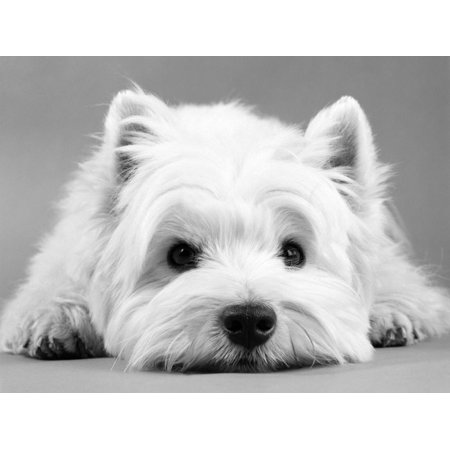 - West Highland White Terrier Cute Dog Photo Print Wall Art By Steimer