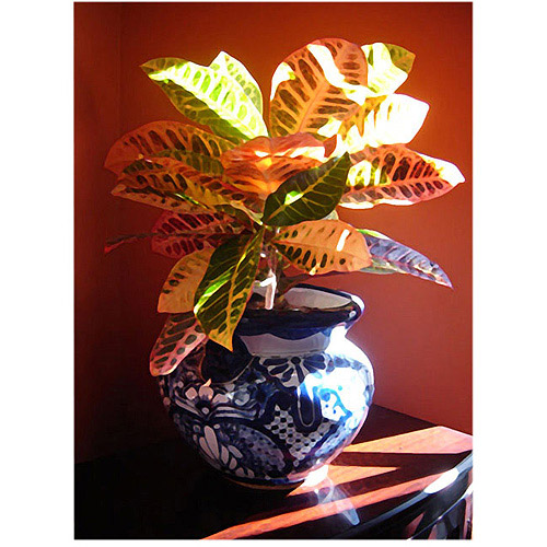 "Trademark Fine Art ""Croton in Talavera Pot"" Canvas Wall Art by Amy Vangsgard"