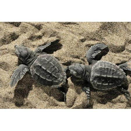 Two Newly Hatched Loggerhead Turtles (Caretta Caretta) Heading for the Sea, Dalyan Delta, Turkey Print Wall Art By Zankl