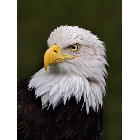 Adult Bald Eagle Print Wall Art By Adam (Eagle Art Print)