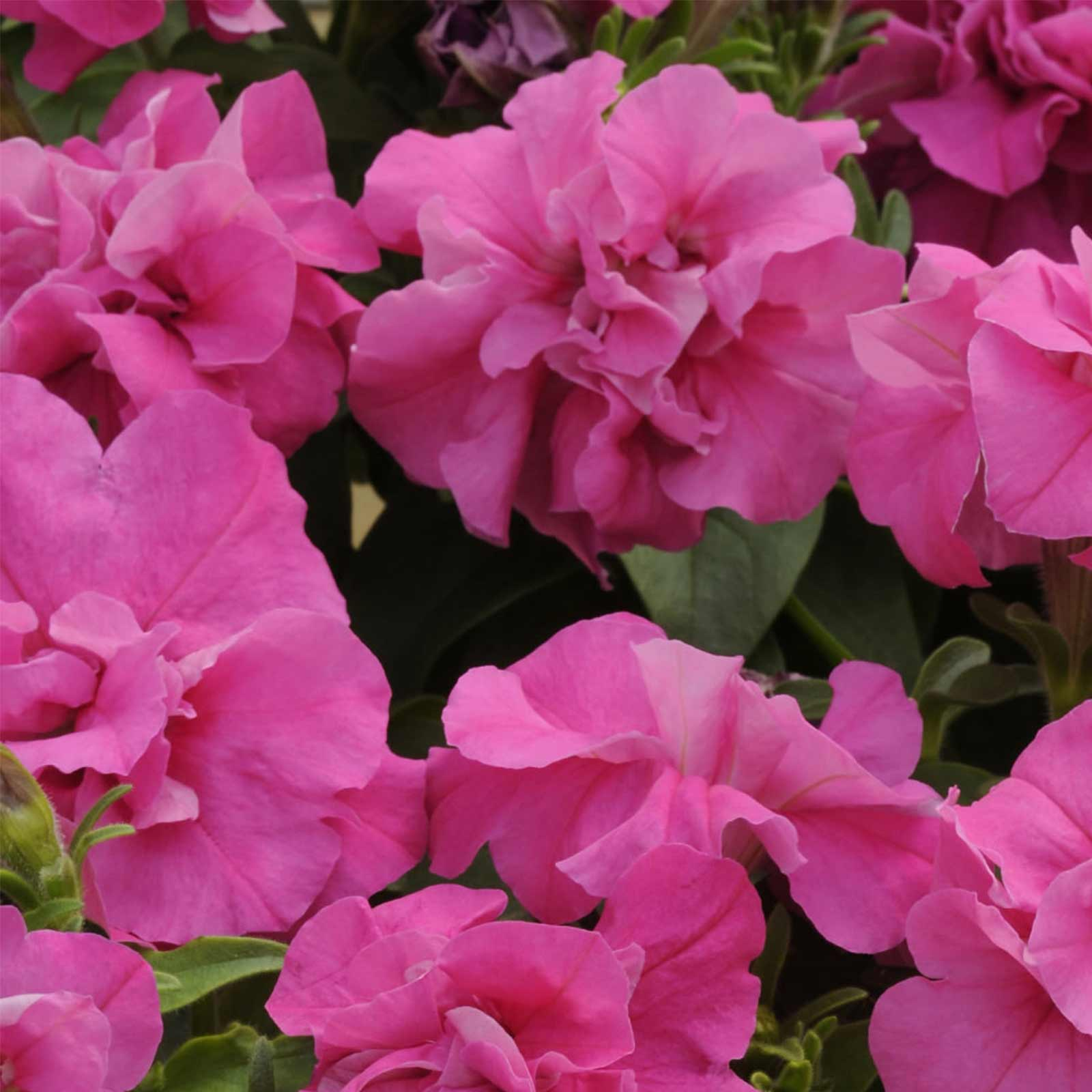 Petunia - Double Madness Series Flower Garden Seed - 1000 Pelleted ...