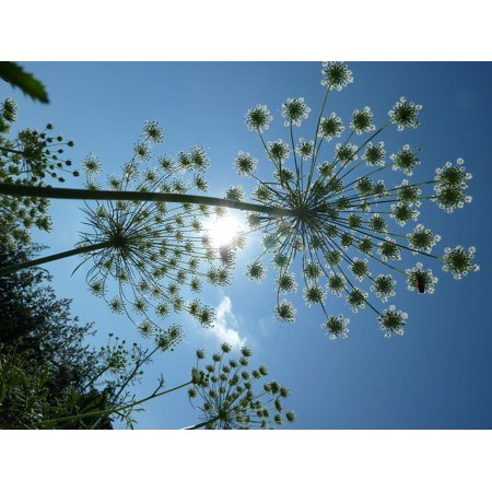 LAMINATED POSTER Sky Umbels Carrot Sun Flowers Poster Print 24 x (King Of Carrot Flowers Part 2 And 3)