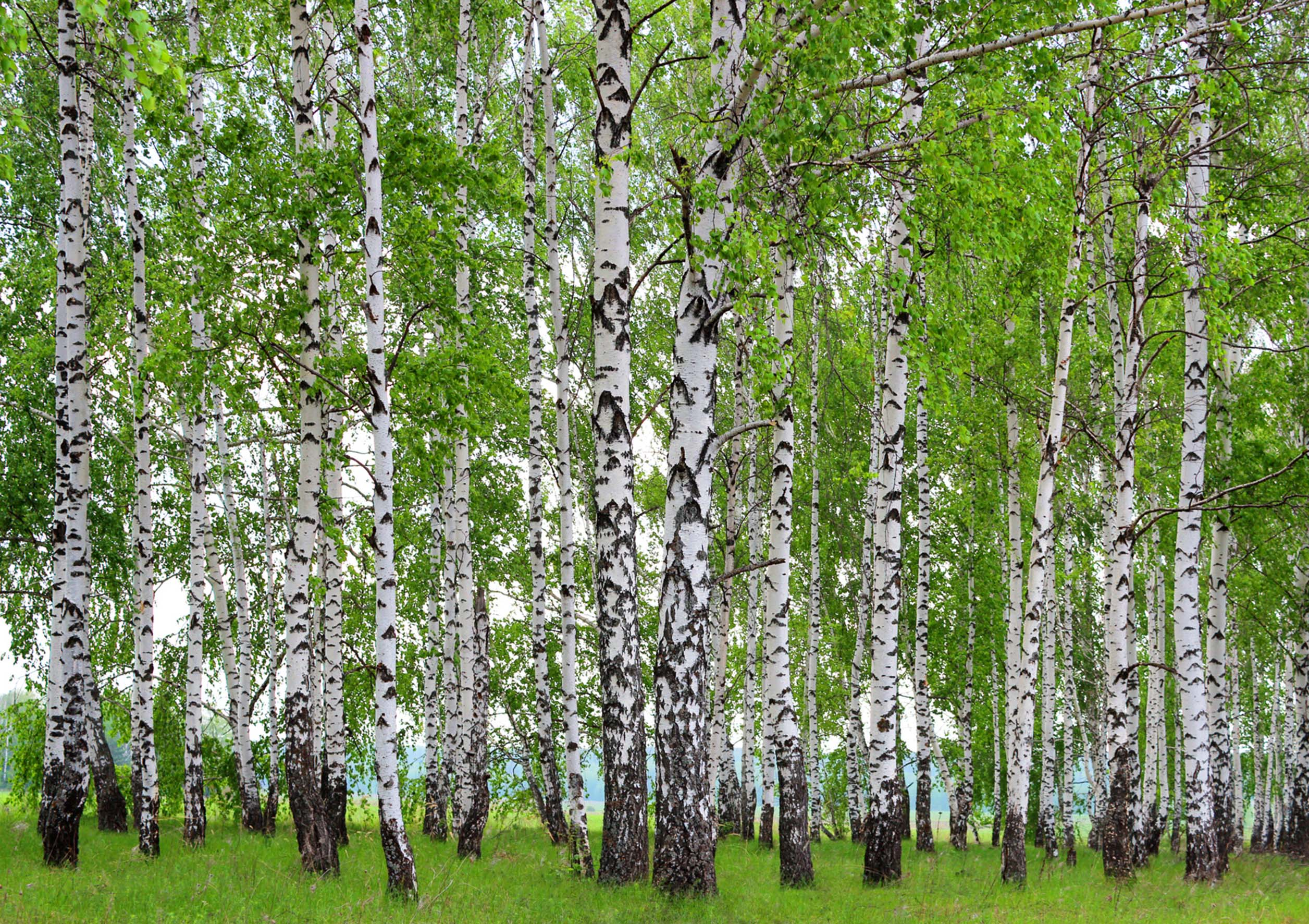 Sunny Birch Forest Wall Mural Non Woven Photo Wallpaper Made In