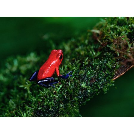 Poison Arrow Dart Frog (Poison Arrow Poison Dart Frog Strawberry Frog, Dendrobates Pumilio Print Wall Art By Christer)