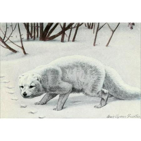 Burgess Animal Book for Children 1920 Arctic Fox Stretched Canvas - LA Fuertes (18 x - 1920 Wigs