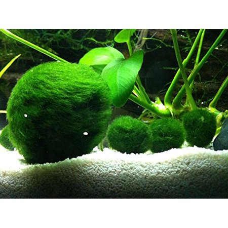 Marimo Moss Ball - 2 Inches](Moss Ball)