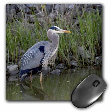 3dRose Great blue heron bird Maumee Bay Refuge, Ohio - US36 DFR0038 - David R. Frazier, Mouse Pad, 8 by 8 inches