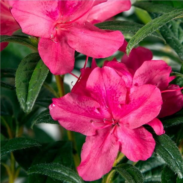 Encore Azalea Autumn Jewel Pink Blooming Evergreen Dwarf Shrub 1 Gal Walmart Com Walmart Com