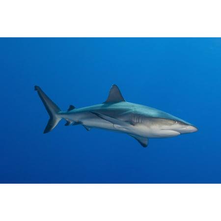 Rainbow Reef Shark - Gray reef shark full body side view Fathers reef Kimbe Bay Papua New Guinea Poster Print
