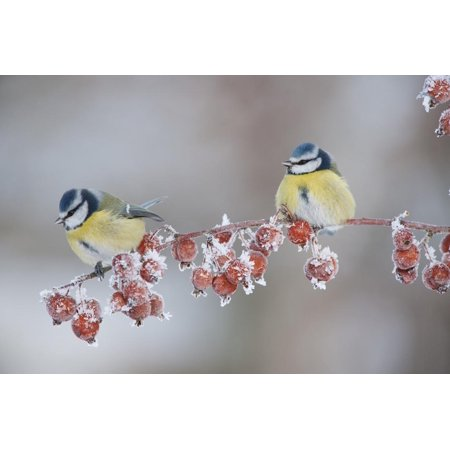 Blue Tits (Parus Caeruleus) in Winter, on Twig with Frozen Crab Apples, Scotland, UK, December Print Wall Art By Mark -