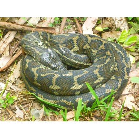 Snake Pattern - Laminated Poster Python Snake Pattern Reptile Scale Wildlife Poster Print 11 x 17