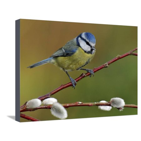 Blue Tit Perched Among Pussy Willow, West Sussex, England, UK Stretched Canvas Print Wall Art By Andy Sands