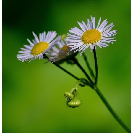 Yellow Daisies Green White Plant Flower Nature Poster Print 24 x 36