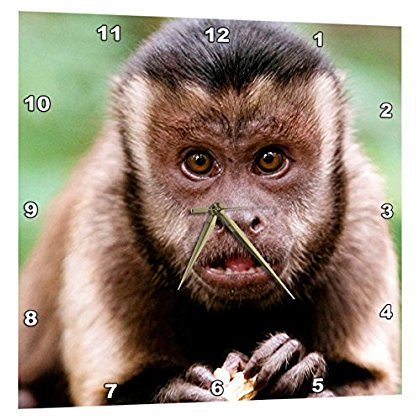 3dRose Close-up of a black-capped capuchin at Bush Babies Monkey Sanctuary., Wall Clock, 15 by 15-inch