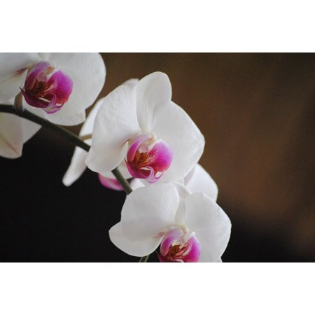- Peel-n-Stick Poster of Flower Petal White Orchids Plant Nature Tropical Poster 24x16 Adhesive Sticker Poster Print