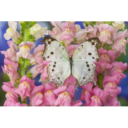 The Forest Mother of Pearl Butterfly from Areas of Salamis Parhassus Print Wall Art By Darrell Gulin