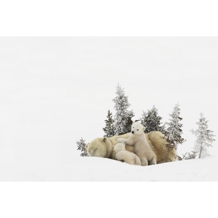 (Polar Bear (Ursus Maritimus) Mother And Her Cubs Playing In The Snow In Wapusk National Park Churchill Manitoba Canada Stretched Canvas - Richard Wear  Design Pics (17 x 11))
