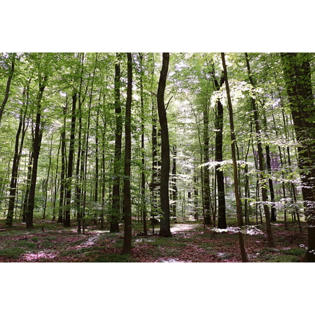 Canvas Print Nature Strains Forest Trees Beech Wood Book Stretched Canvas 10 x (Tri Color Beech Tree For Sale In Michigan)