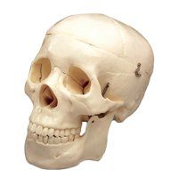 Budget Life-Size Skull With 3-Rem Teeth