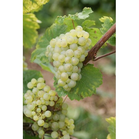 LAMINATED POSTER Riesling Grapes Grape Winegrowing Wine Vine Poster Print 24 x (Riesling Two Vines)