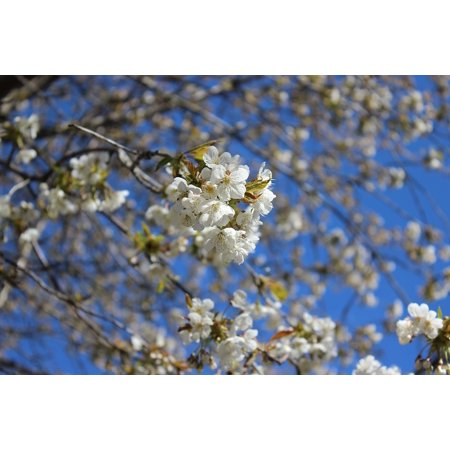 Framed Art for Your Wall White Blossom Spring Cherry Trees Close-up Flower 10x13 Frame Cherry Blossom Tree Art