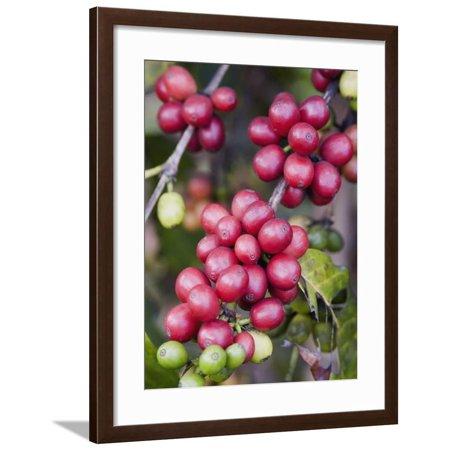 Ripe Coffee Berries, Kona Joe's Coffee Plantation, Kona, Hawaii Framed Print Wall Art By Ethel (Frame Kona)
