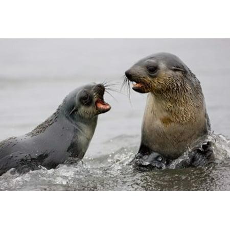 South Georgia St Andrews Bay Antarctic Fur Seals Poster Print by Jaynes Gallery